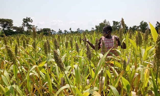 Farmers in the communities projecting bumper harvest from improved varieties of drought-tolerant sorghum seeds.
